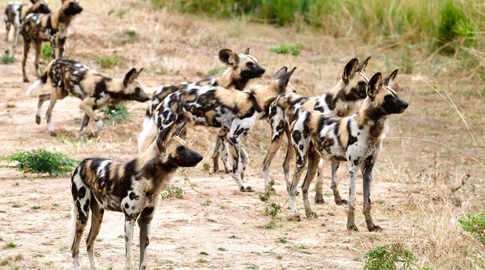 South Luangwa dogs