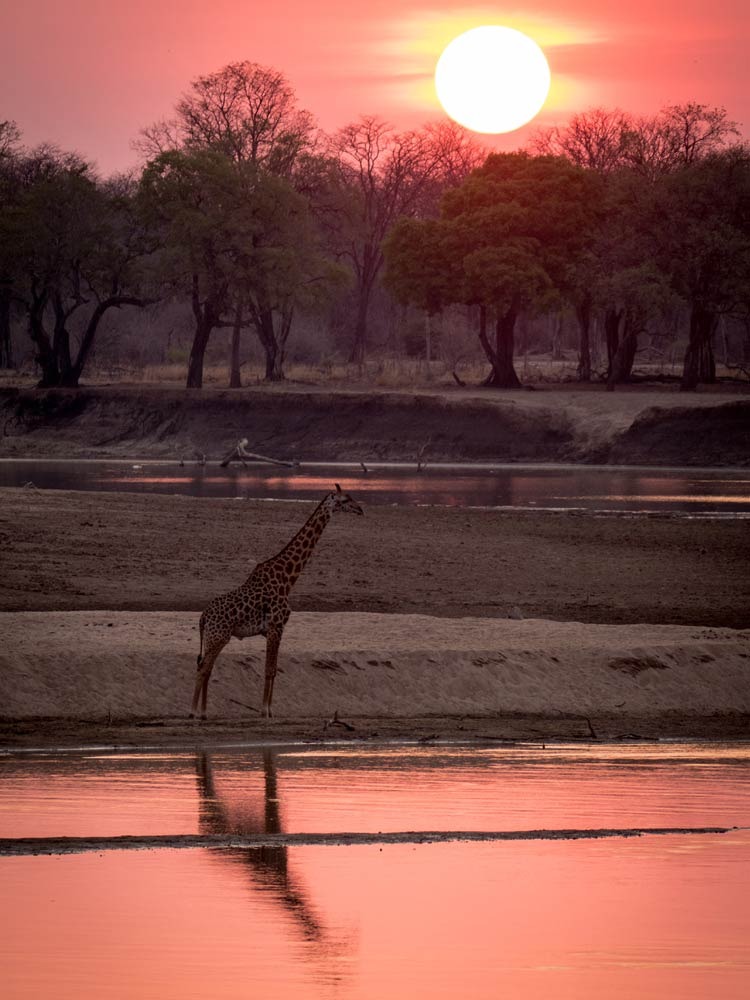 south luangwa giraffe